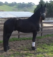 NIceFriesian horses for dressage, driving and breeding and for sale